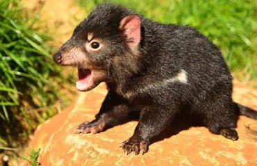Young Tassie Devil at Australia Zoo