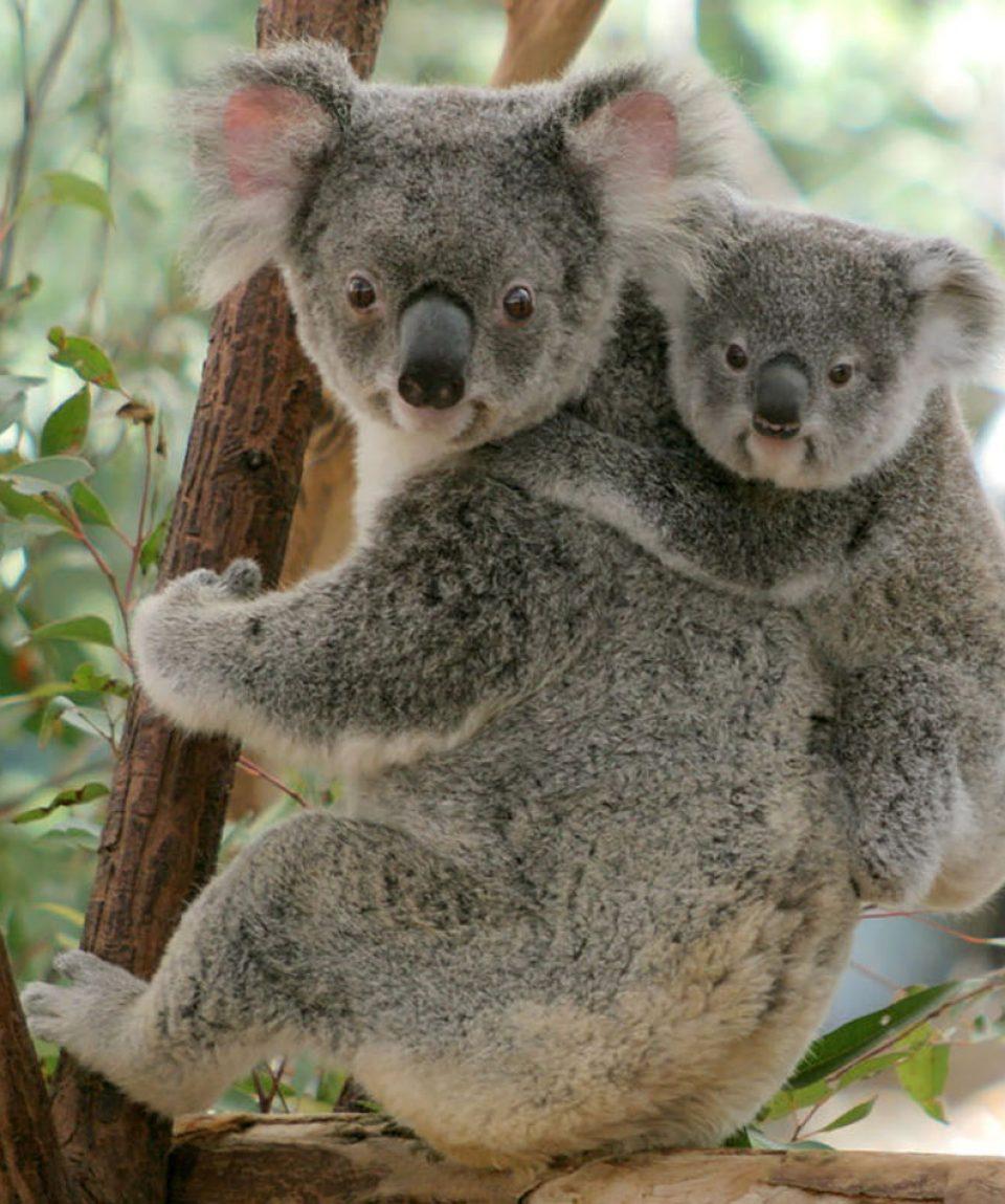 Lone-Pine-Sanctuary-Koalas