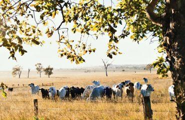 Cows in paddock at dawn