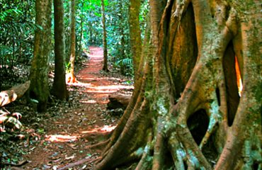 Rainforest with strangler Fig